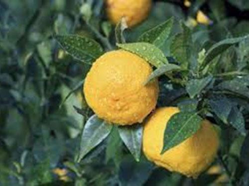 Similar cu lămâia, fructul este tare și nu poate fi mâncat, dar miezul și sucul sunt folosite pentru a da gust mâncării.